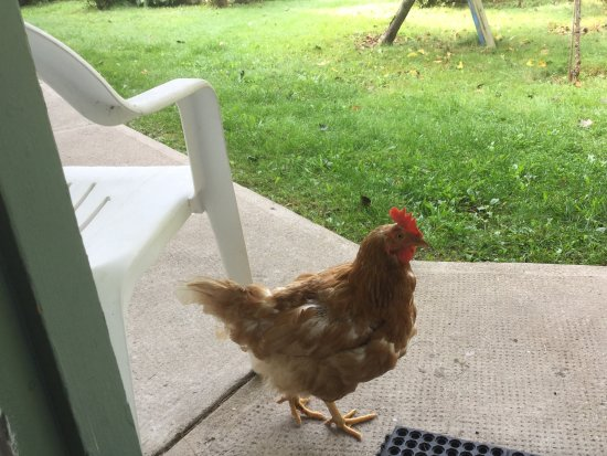 Boutiliers Point, Canada: One of the many roosters greeting us at our door upon departure.