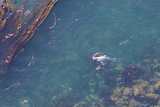 Oak Harbor, WA: Harbor Seal among Bull Kelp along shore under Deception Pass Bridge