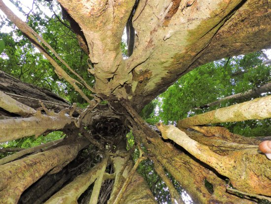 Rancho Tropical: Inside of a strangler tree