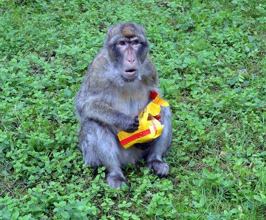 Ueckermunde, Germany: Swojego jedzenia trzeba pilnować przed małpami...
