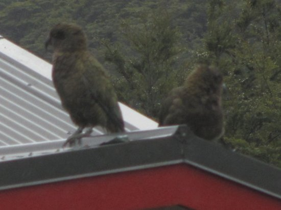 Mountain House YHA: two kea (NZ alpine parrots) seen from Mountain House lounge window on neighbouring roof.