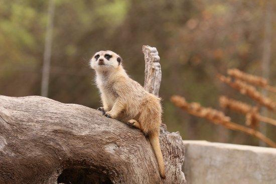Hoedspruit Endangered Species Centre : Did someone say MeerKat?