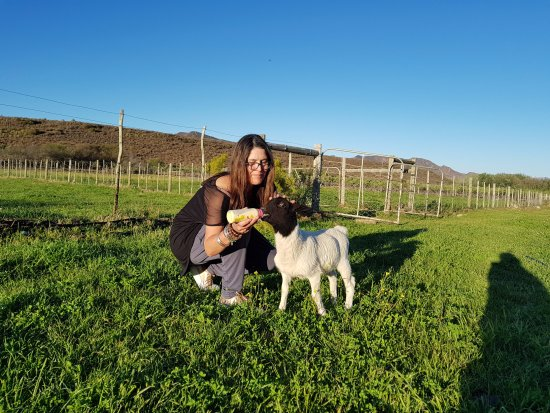 Prince Albert, South Africa: Feeding the lambs