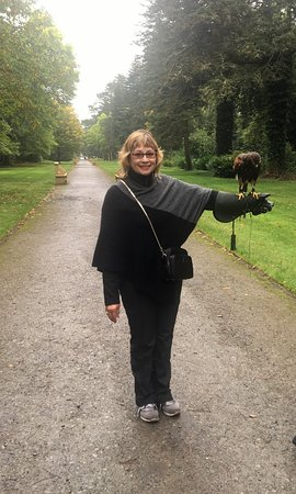 Cong, Irlanda: With Lima, the Peruvian Harris Hawk!