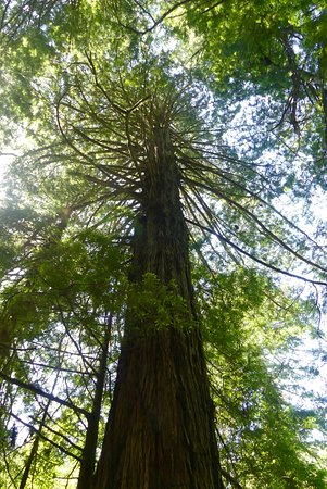 Orick, Californien: Redwood