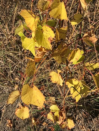 Zion, IL: Wild grape in its yellow Fall color, 10/9/2017