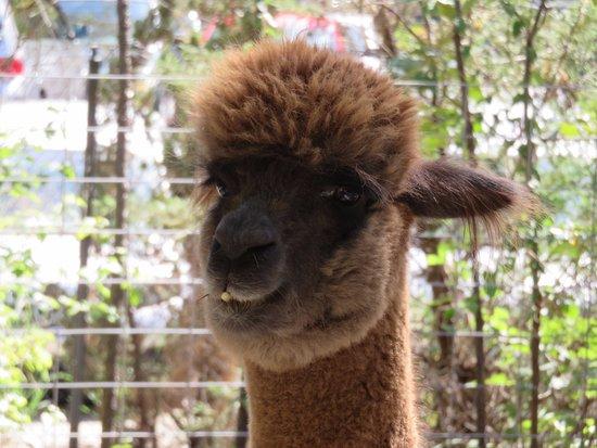 Museum of Life + Science: Look at that cute Alpaca face.