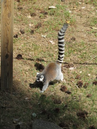 Museum of Life + Science: Lemurs are so cute.