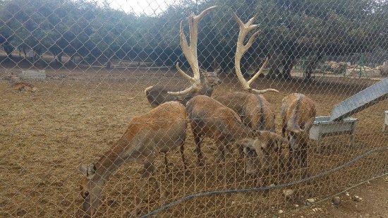 Merom Golan: deers