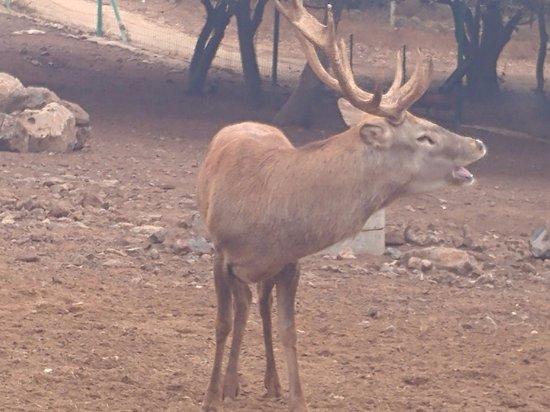Merom Golan: Bambi's daddy