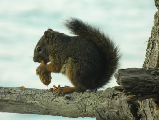 Black Creek, Kanada: Squirrels are all over the camp