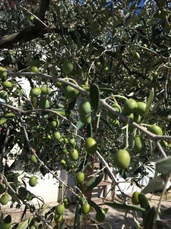 Pomarance, Italia: Azienda Agricola Biologica: Olive Bio 100%