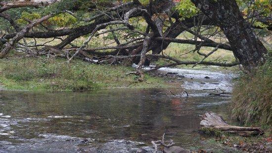 Sainoko Lake : ヒメマスの遡上