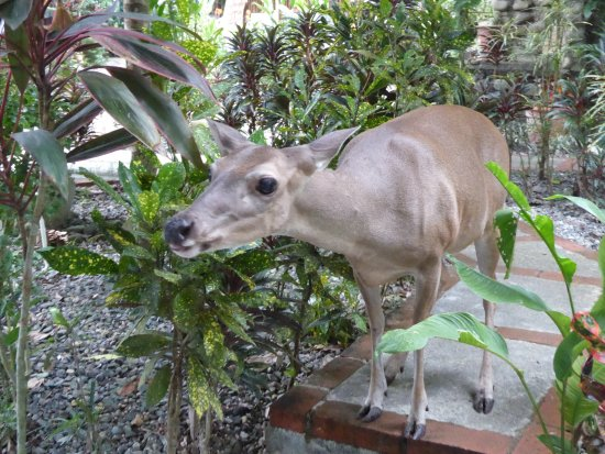 La Posada Private Jungle Bungalows: Niña the deer, a regular hotel visitor from the National Park
