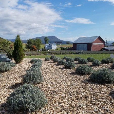 White Oak Lavender Farm: 20171010_104811_large.jpg