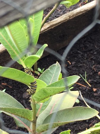 Ormstown, Kanada: Our milkweed garden gives a home for the monarch butterflies.
