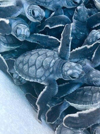 The Westin Lagunamar Ocean Resort Villas & Spa, Cancun: La maravilla de ver salir a las crías con un cuidado esmerado y dedicación altamente profesional
