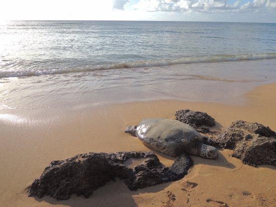 Laniakea Beach: ウミガメさん