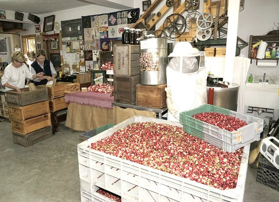 Dennis, MA: Dry harvested cranberries ready for sale.