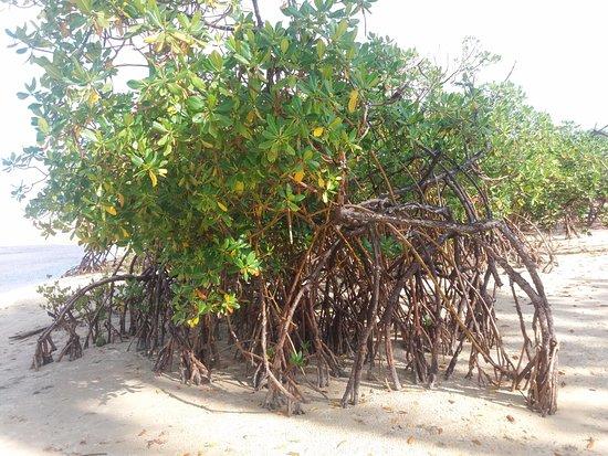 Praia dos Nativos: Vegetação de mangue