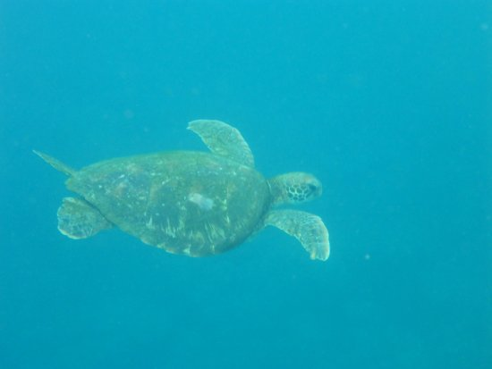 Puerto Lopez, Ekwador: Taken while snorkeling with this company, sea turtle less than 4 feet from me.