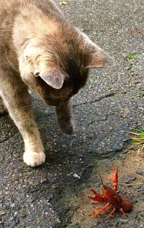 Crooked Oak Mountain Inn: Millie the cat & the elusive Mountain Crawfish