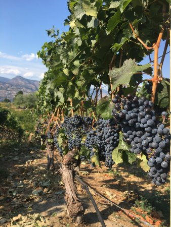 Penticton, Canada: Almost time for harvest