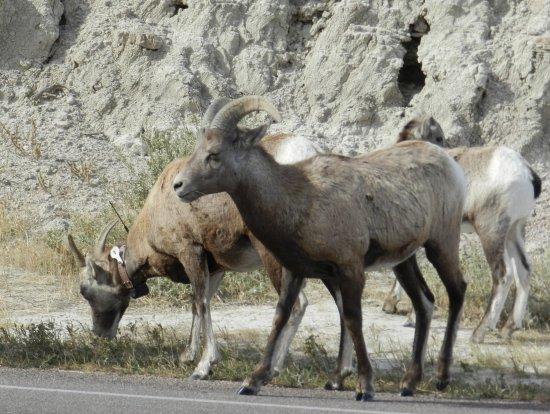 Loop Road: Bighorn sheep along the loop