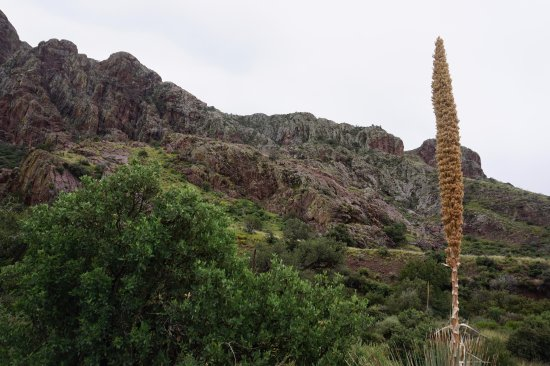 Dripping Springs Natural Area: yucca