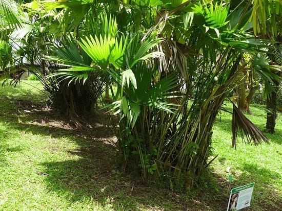 Kaneohe, ฮาวาย: アサイ・ヤシの木
