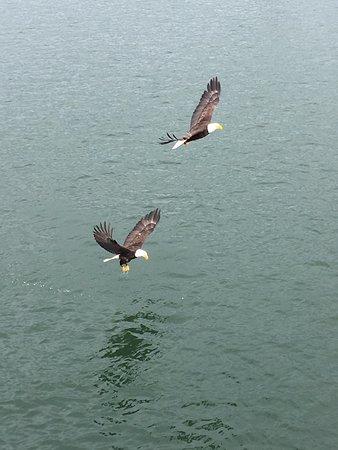 Πρινς Ρούπερτ, Καναδάς: Bald eagles