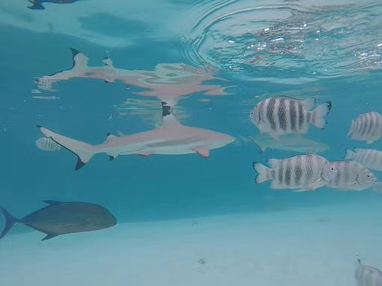 Papetoai, French Polynesia: Black tip shark, a lot more swimming around us!