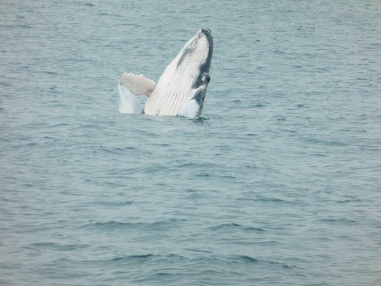Redcliffe, Avustralya: A baby whale breaching - one of many we spotted today!