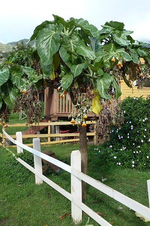 Isla Robinson Crusoe, Chile: Bewuchs im Garten
