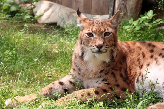 ‪‪Bolton‬, ماساتشوستس: Lynx at Animal Adventures‬