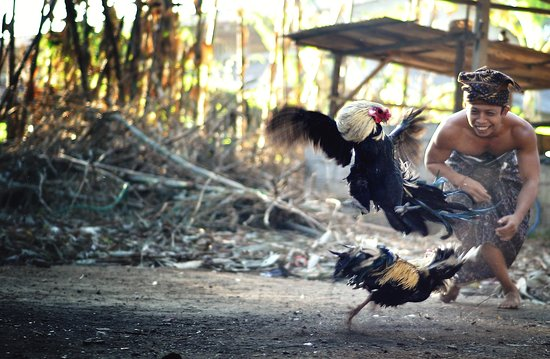 Mengwi, Indonésia: Cock Fighting Bali - Traditional Culture
