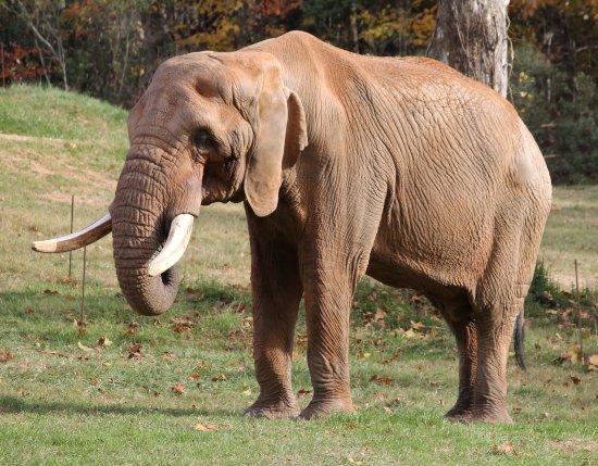 Asheboro, Kuzey Carolina: African Elephant