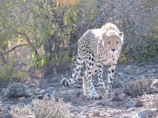 Sanbona Wildlife Reserve: Cheetah Spotted on Game Drive