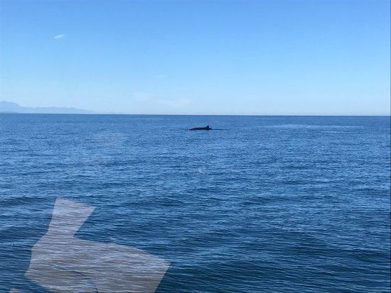 Edmonds, WA: Sighting of Minke Whale