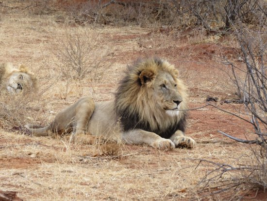 Etali Safari Lodge: Male lion