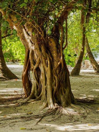 Embudu Village: Scultural mature tree