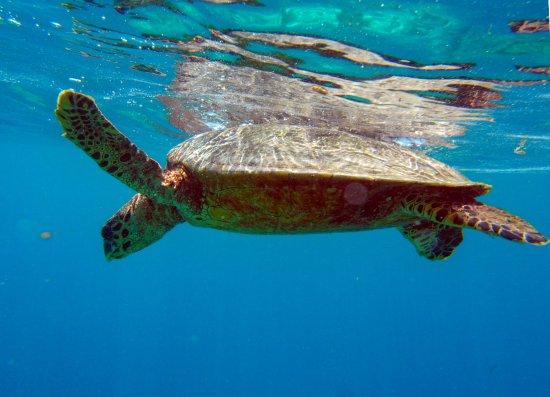 Embudu Village: Turtle on the reef