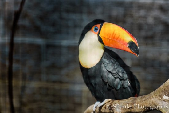 Scotland Neck, Kuzey Carolina: Toucan at Sylvan Heights Bird park