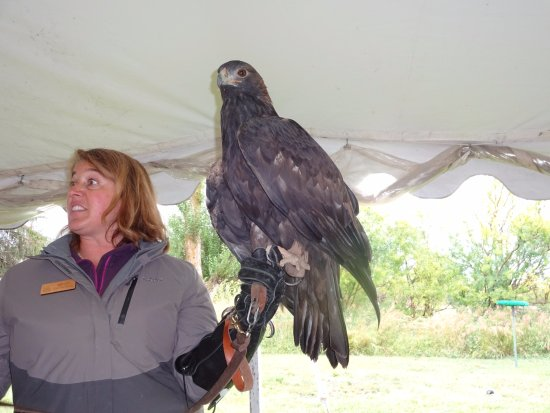 Teton Raptor Center: Golden eagle
