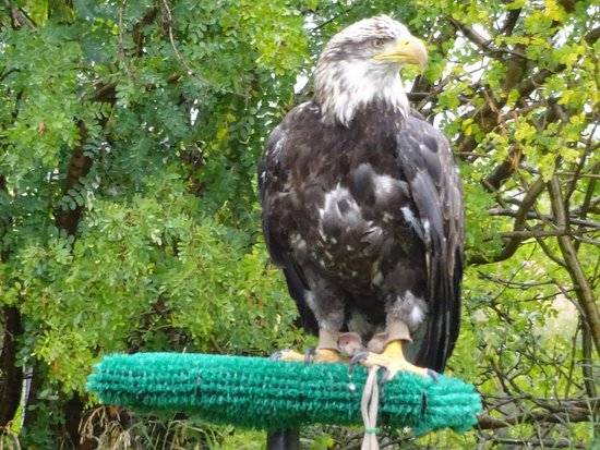 Teton Raptor Center: Bald eagle
