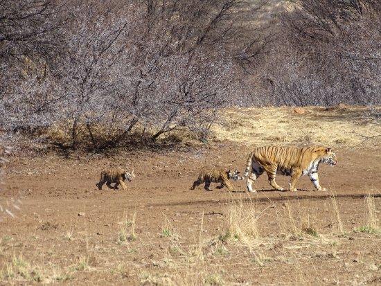 Свободное государство (Блумфонтейн), Южная Африка: Panna with 2 of her cubs