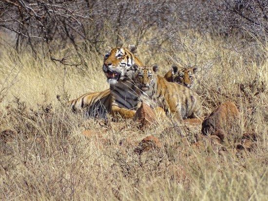 Свободное государство (Блумфонтейн), Южная Африка: Panna with her 3 cubs