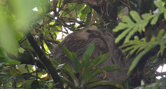 กรานาดา, นิการากัว: sloth resting at the start of the trail