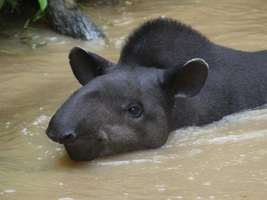 Tena, Ecuador: Mooi plaatje van de zwemmende Tapir