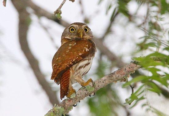 Kingsville, TX: Ferruginous Pygmy-Owl